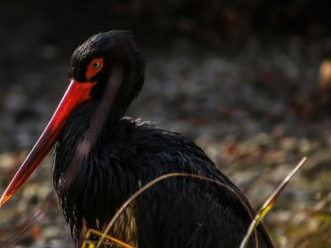 Imagen de la noticia La cigüeña negra en el Día de las Aves
