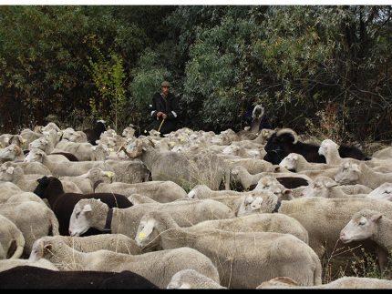 Imagen de la noticia La trashumancia llega el lunes a Alpedrete