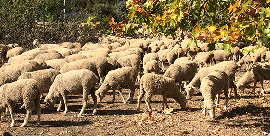 Imagen de la noticia ¿Cuánto duerme una oveja?