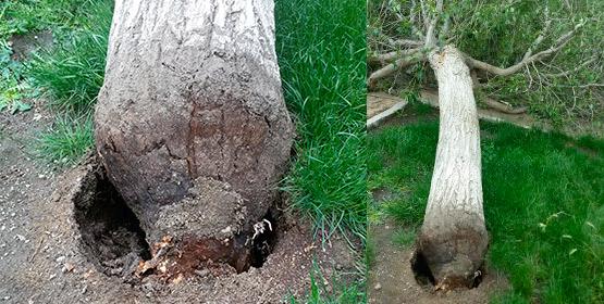 Imagen de la noticia Caída de un árbol en El Peralejo