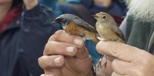 Imagen de la noticia Anilladas 12 especies de aves