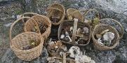 Imagen de la noticia Recogidas 62 especies de setas