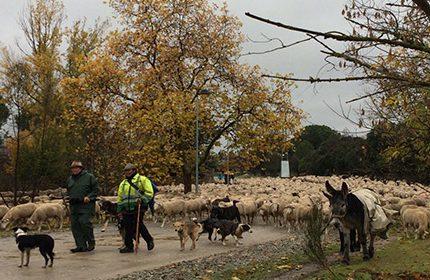 Imagen de la noticia 2000 ovejas han trashumado por Alpedrete