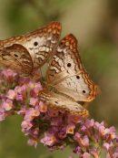 Imagen de la noticia Guía de mariposas de Alpedrete